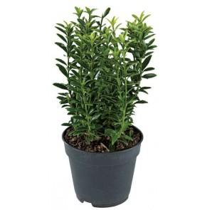 Kardinaalshoed - Euonymus Japanico 'Green Spire'